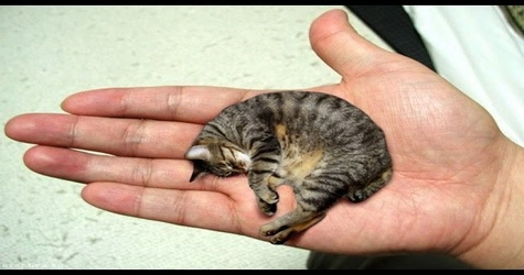 guinness world record for the smallest cat in the world - Smallest Cat In The World Guinness 2017