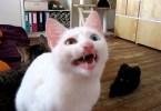 Cat Speaking in Unknown Alien Language
