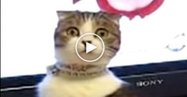 The Most Dramatic Cat Will Stare Directly Into Your Soul. Just Unbelievable !
