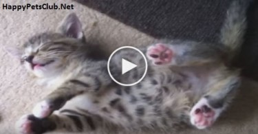 Cute Little Kitten Plays Dead After Fighting With Her Sister. Amazing Video
