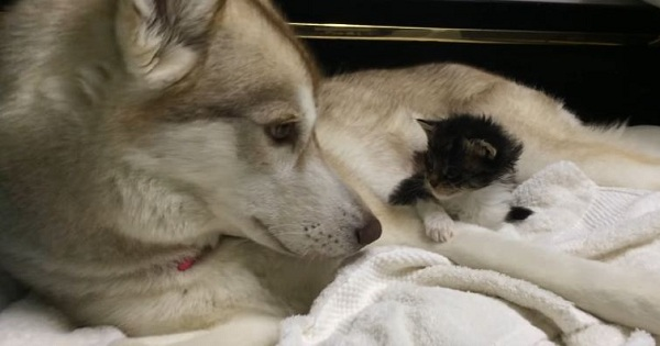 Dog Is Comforting A Little Scared Kitten
