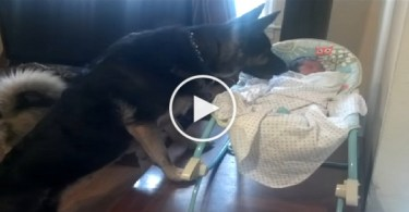 German Shepherd Protecting a Newborn Baby. Incredible Video !