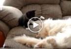 Naughty Black Kitten Annoys Sleeping Cat