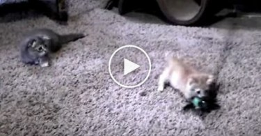 2 Cute Kittens Playing With The New Toy. Simply Amazing !