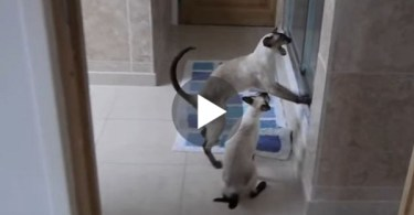 These Cats Freak Out Every Time When They Noticed Their Mommy Taking a Shower