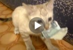 Cute Kitten Steals Money And Refuses To Give It Back To Her Owner
