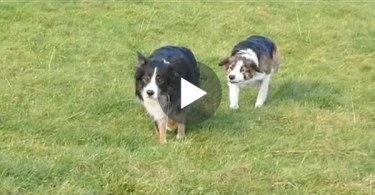 When The Owner Noticed Why His Collies Walking Slowly And Funny He Couldn't Stop Laughing