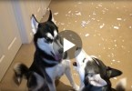 huskies arging about the mess