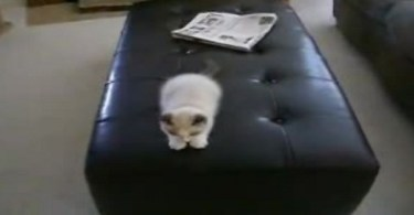 3-Month-Old Kitten Goes Crazy On Leather Ottoman