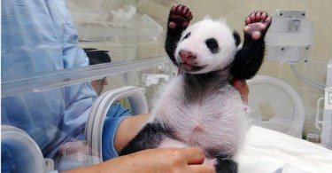 Excited Baby Panda Seeing Mommy For The First Time