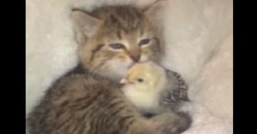 Little Kitten Can`t Stop Kissing Her New Unlikely Friend