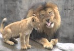 Precious Moment When Lion Cubs Meet Daddy For The First Time