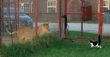 Brave House Cat Tries To Attack a Scary Big LION!
