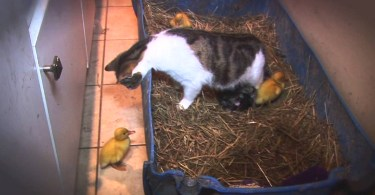 Mom Cat Adopts Abandoned Ducklings And Cares For Them As Her Own