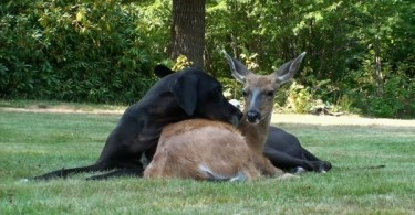 This Woman Captured The Precious Moment Of Big Dog And Deer Playing Together
