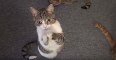 Adorable Kitty Asking For Fish Treats