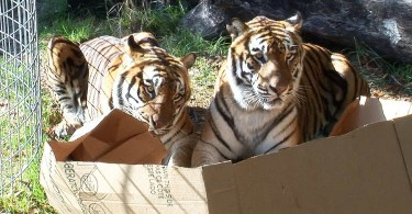 Big Kitties Are Also Fascinated By Boxes