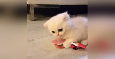 Kitten Playing With His New Favorite Toy And Will Never Let Go
