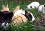 Cute Kittens Raised By Rabbits And Now They All Hopping Like Real Rabbits