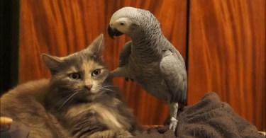 Pet Parrot Annoys A Patient Cat To Her Limits