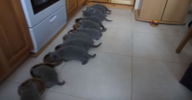 12 Scottish Fold Kittens Eating Together At The Same Time , While Mommy Is Watching Them