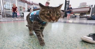 This Cat Is Now The Newest Member Of The Canine Airport Therapy Squad