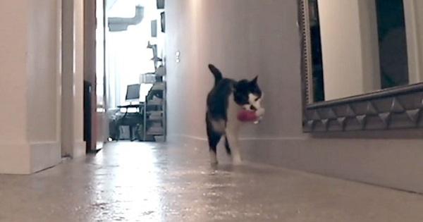 Emotional Cat Cryingly Looks For His Human When He Leaves The Home