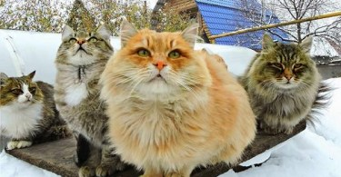 Fluffy Siberian Cats Love Winter, And Every Year They Rush To Play In The Snow