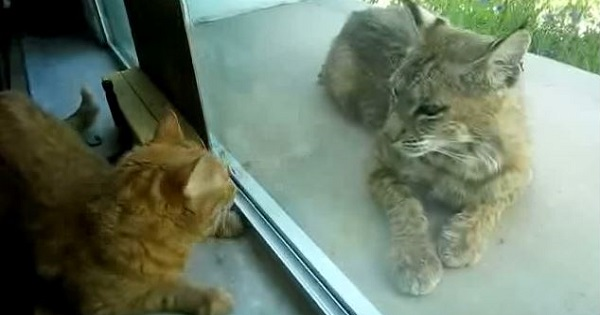 Indoor Cat Begging Her Human To Let The Stray kitty Inside, But It Turns Out It's a Bobcat