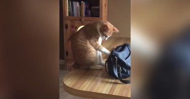 Cat Caught Stealing Money From Woman's Bag