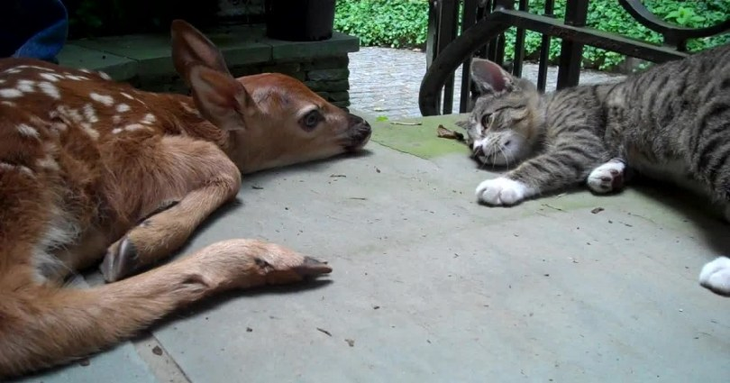 Kitten Is Very Excited To See A Baby Deer For The First Time