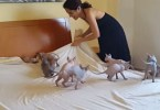Making a Bed With 9 Excited Sphynx Kittens Is Almost Impossible Mission