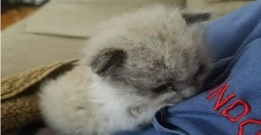 Man Saves Orphaned Kitten And Two Months Later He Loves Cuddling More Than Anything