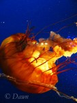 Vancouver Aquarium - Jelly Fish