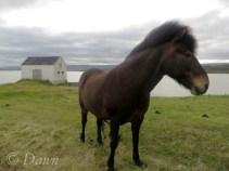 Icelandic horse at Egilsstaðir