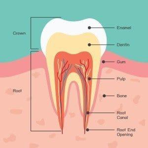 牙齒基本構造