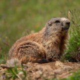Marmot animal in the Dolomites