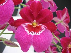 48 orchidée rose