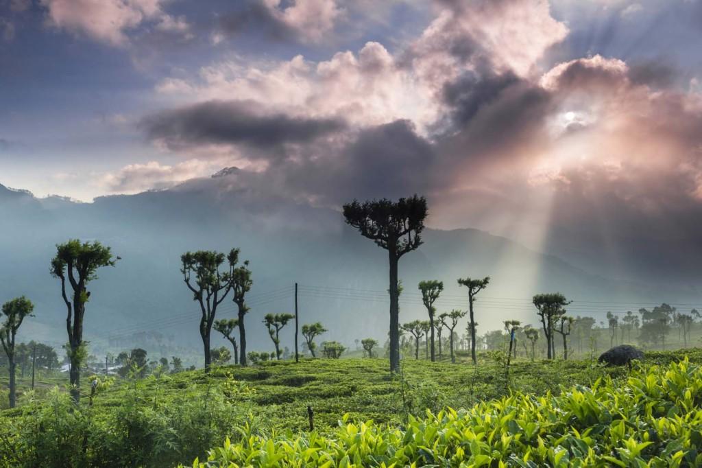 Tea Plantations in Haputale Sri Lanka HAPUTALE (Sri