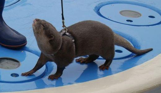 サンシャイン水族館でしか見れない!カワウソのグリーティングを堪能