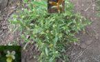 mezeiviola