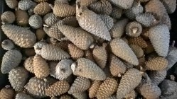 Pine cones on a broiler tray. They start as sealed as Fort Knox but when you bake them at 200 degrees Fahrenheit for 10-20 minutes...