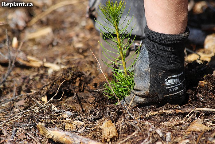 tree-planting-planters-2015_vanderhoof_002