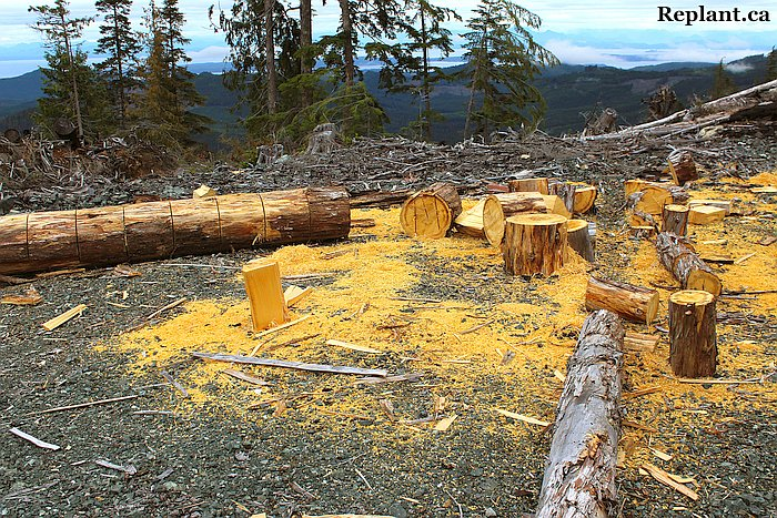 tree-planting-planters-yellow-cedar-for-shingles