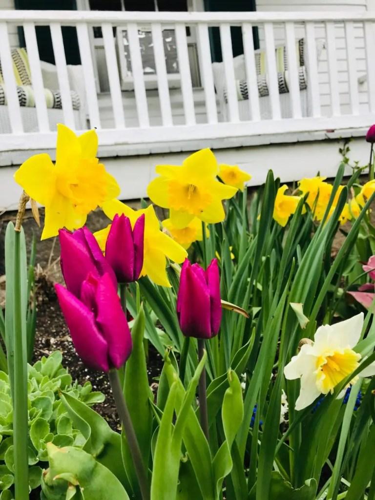 daffodils at Hardy Farm