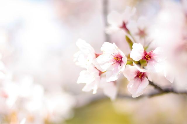 桜の花の季節