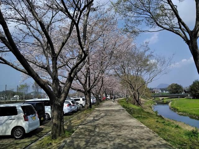 駐車場側の桜並木