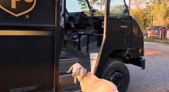 This Rescue Goat is in Love With the UPS Driver