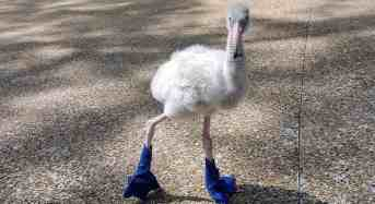 Boots Were Made For Walking – and Helping This Baby Flamingo Grow Healthy and Strong
