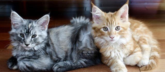 Cara Merawat Dan Harga Anak Kucing Maine Coon Daftar Harga Tarif